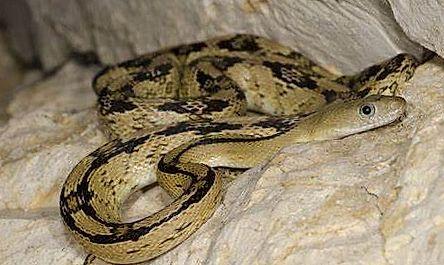 Serpent ratier du Trans-Pecos