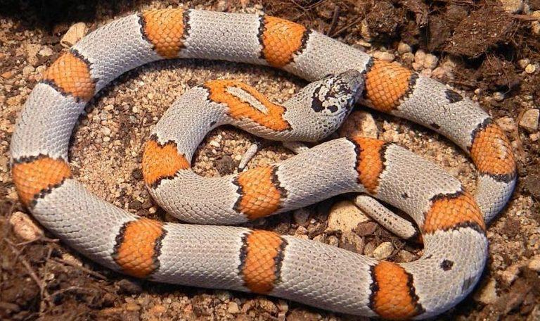 Le Serpent Roi Gris à bandes