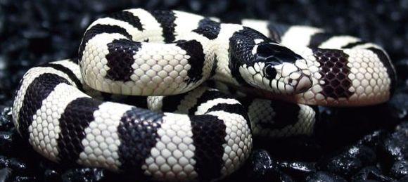 Le Serpent Roi de Californie