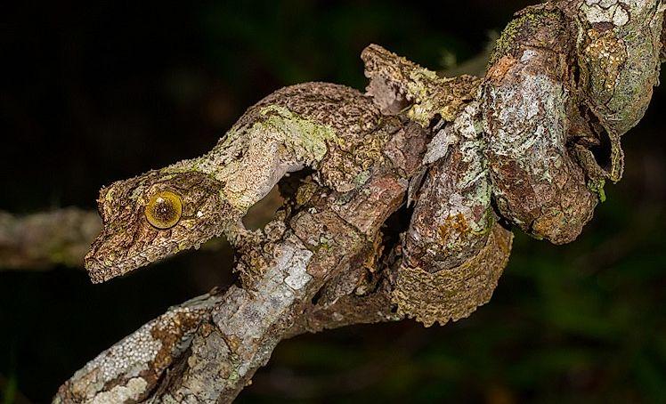 Gecko à queue de feuille mousseux