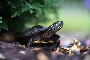la tortue noire rampe dans une feuille jaune