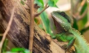 le lézard vert grimpe dans un arbre