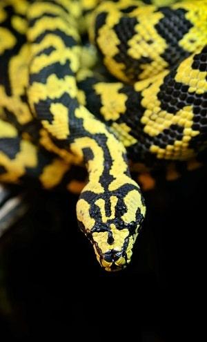 serpent noir et jaune