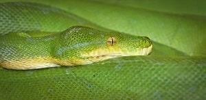 gros serpent vert