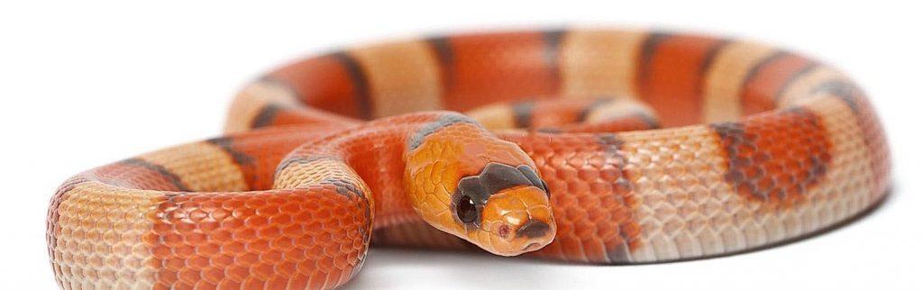 serpent orange à rayures noires